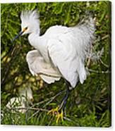 Snowy Egret In Breeding Plumage Canvas Print