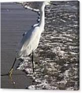 Snowy Egret Walking Canvas Print
