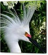 Snowy Egret With Breeding Plumage Canvas Print