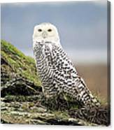 Snowy Owl At Boundary Bay Vancouver Canvas Print
