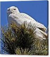 Snowy Owl High Perch Canvas Print