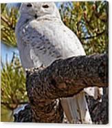 Snowy Owl Resting Canvas Print