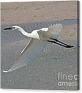 Soaring Snowy Egret Canvas Print