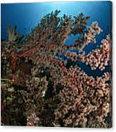 Soft Coral Reef Seascape, Indonesia Canvas Print