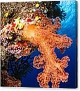 Soft Coral Seascape, Fiji Canvas Print