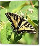 Solitary Swallowtail Canvas Print