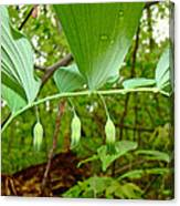 Solomon's Seal Wildflower - Polygonatum Commutatum Canvas Print