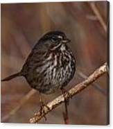 Song Sparrow Canvas Print
