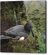 Sooty Albatross Phoebetria Fusca Canvas Print