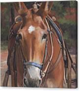 Sorrel Mule Canvas Print
