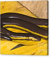 Southeast Asian Caecilian Canvas Print