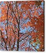 Southern Illinois Maple Canvas Print