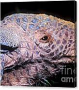 Southern Naked-tail Armadillo Canvas Print