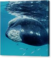 Southern Right Whale Australia Canvas Print