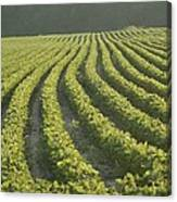 Soybean Crop Ready To Harvest Canvas Print