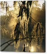 Spanish Moss Hanging From A Tree Branch Canvas Print