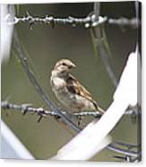 Sparrow - Protected By Razor Wire Canvas Print