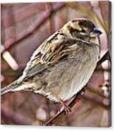 Sparrow II Canvas Print