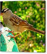 Sparrow In Morning Light  Canvas Print