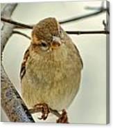 Sparrow On A Twig Canvas Print