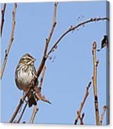 Sparrow On Blue Canvas Print