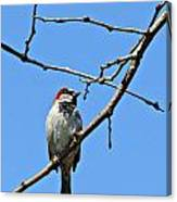 Sparrow On The Branch Canvas Print