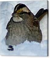Sparrow V Canvas Print