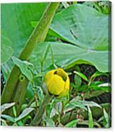 Spatterdock Wild Yellow Water Lily - Nuphar Lutea Canvas Print