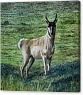 Speed Goat Canvas Print
