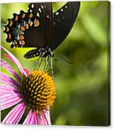 Spicebush Swallowtail Butterfly And Coneflower Canvas Print