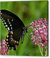 Spicebush Swallowtail Din039 Canvas Print