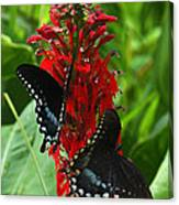 Spicebush Swallowtails Visiting Cardinal Lobelia Din041 Canvas Print