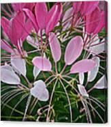 Spider Flower Canvas Print