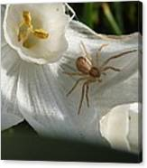 Spider In Narcissus Canvas Print