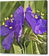 Spiderwort 2273 Canvas Print