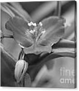 Spiderwort In Black Canvas Print