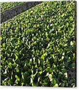 Spinach Crop Canvas Print