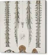 Spinal Cord Anatomy, 1844 Artwork Canvas Print