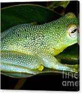Spiny Glass Frog Canvas Print