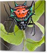 Spinybacked Orbweaver Spider Solomon Canvas Print