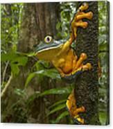 Splendid Leaf Frog  Costa Rica Canvas Print