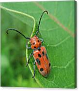 Spotted Asparagus Beetle - Crioceris Duodecimpunctata Canvas Print