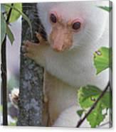 Spotted Cuscus Phalanger Maculatus Canvas Print