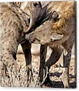 Spotted Hyena Greeting Ritual Canvas Print