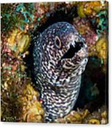 Spotted Moray Eel Canvas Print