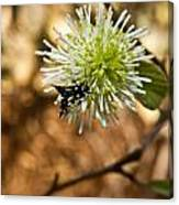 Spotted Moth On Fothergilla Canvas Print