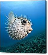 Spotted Porcupinefish Canvas Print