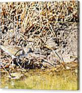 Spotted Sandpiper At The Canal Canvas Print
