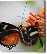 Spotted Tiger Glassywing Canvas Print
