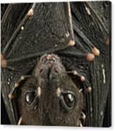 Spotted-winged Fruit Bat Balionycteris Canvas Print